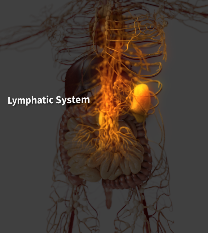 Part of the lymphatic system